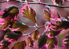 Tricolor Beech. Leaves in the spring Stock Images