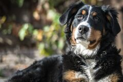 Tricolor Bernese Mountain Dog Stock Photo