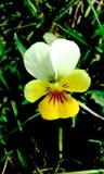 Tricolor blomma f?r altfiol arkivbilder