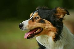 Tricolor Border collie dog smiling stock photography