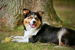 Tricolor border collie on the grass stock images