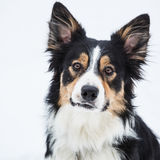 Tricolor border collie Stock Images