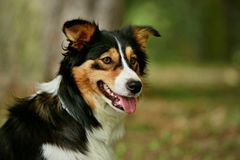 Tricolor border collie. Looking happy royalty free stock photography