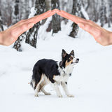 Tricolor border collie Royalty Free Stock Images
