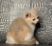 Tricolor British  kitten Royalty Free Stock Photography
