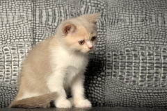 Tricolor British  kitten Royalty Free Stock Photo