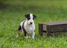 Tricolor bull terrier puppy standing near box. Tricolor bull terrier puppy standing near wooden box stock photos