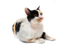 Tricolor cat Royalty Free Stock Photography