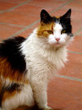 Tricolor Cat. A beautifull female cat, with three colours stock image