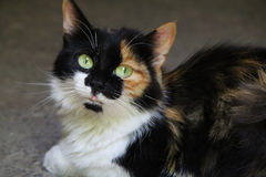 Tricolor cat Royalty Free Stock Images