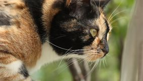 Tricolor cat close-up in the wind on a blurred background breathes deeply, sniffs out the danger, hunts. white long cat whiskers m stock footage
