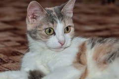 Tricolor cat closeup stock photos