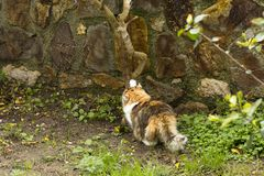 A tricolor cat flexes muscles and sharpens its claws in a garden. royalty free stock image