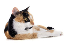 Tricolor cat Royalty Free Stock Photo