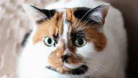 Tricolor cat gives a wink. Tricolor spotted calico cat face close up. The cat turns to the camera and closes one eye for a sec like giving a wink stock footage