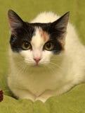 Tricolor cat Stock Photos