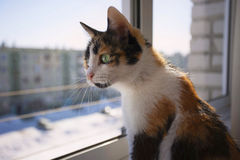 Tricolor cat. With green eyes stares out the window. Outside the window, winter, snow Royalty Free Stock Photography