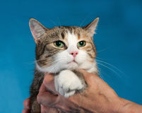Tricolor cat with hugs her human hand on blue Royalty Free Stock Images