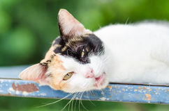 Tricolor cat lay down Royalty Free Stock Image