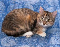 Tricolor cat lies on blue Royalty Free Stock Photos