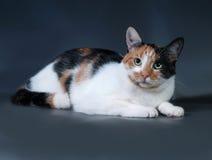 Tricolor cat lies on dark gray Royalty Free Stock Photos