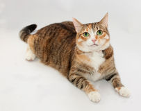 Tricolor cat lies on gray Stock Image