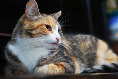 Tricolor cat lies on the piano Royalty Free Stock Image