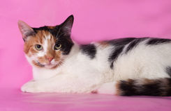 Tricolor cat lies on pink Stock Image