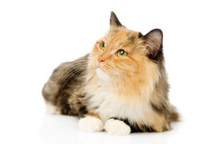 Tricolor cat looking away. isolated on white background Royalty Free Stock Image