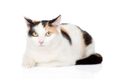 Tricolor cat looking at camera. isolated on white background Stock Image