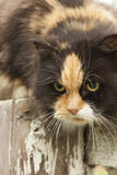 Tricolor cat red-white-black Stock Photos
