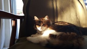 A tricolor cat resting on a sofa with wooden arms, under shadows and afternoon sun stares at the observer. stock image