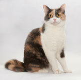 Tricolor cat sit on gray Stock Images