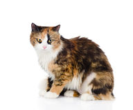 Tricolor cat sitting and looking at camera. isolated on white ba Stock Photos