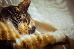 Tricolor cat is sleeping on the windowsill. beige Curtains, white tulle, windows closed by roller shutters. closeup pet chill on a royalty free stock photography