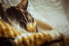 Tricolor cat is sleeping on the windowsill. beige Curtains, white tulle, windows closed by roller shutters. closeup pet chill on a stock photo