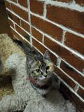 Tricolor cat standing and looking up. stock photography
