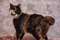Tricolor cat Royalty Free Stock Photos