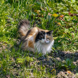 Tricolor cat Stock Photography
