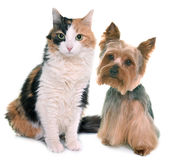 Tricolor cat and yorkshire terrier. In front of white background Royalty Free Stock Photo