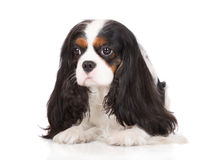 Tricolor cavalier king charles spaniel Royalty Free Stock Photography