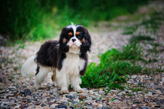 Tricolor cavalier king charles spaniel dog relaxing in summer garden Stock Photography