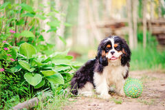 Tricolor cavalier king charles spaniel dog relaxing with toy ball in summer Royalty Free Stock Photo