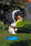 Tricolor collie stock photo