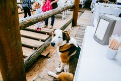 Tricolor Coonhound Beside Table Stock Photos
