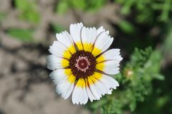 Tricolor daisy. Detail of tricolor daisy in the garden Stock Images
