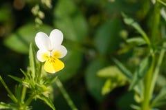 Tricolor de la viola de Heartsease también conocido como Johnny Jump para arriba o pensamiento salvaje en jardín foto de archivo libre de regalías