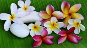 Tricolor de las flores del Plumeria Fotografía de archivo