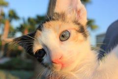 Tricolor domestic kitten. Stock Photo