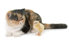 Tricolor exotic shorthair cat and chick. In front of white background stock photos
